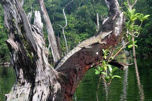 крокодил, дерево, лазать