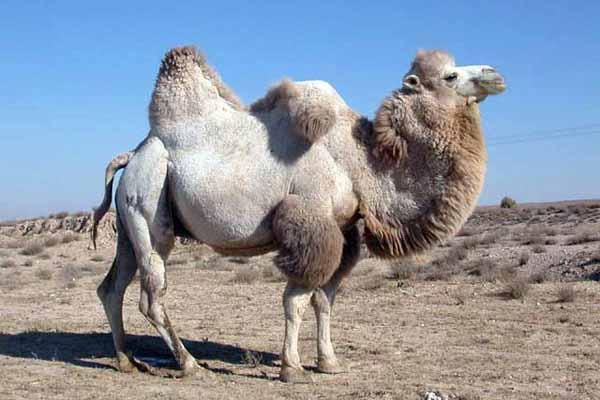 верблюд, горбы