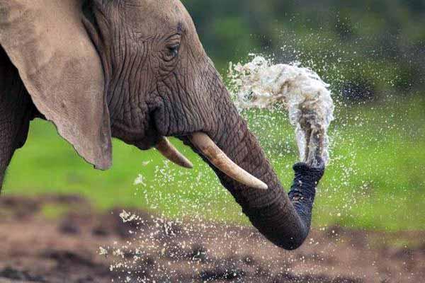 слон, хобот