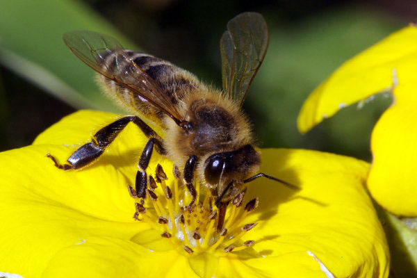 пчела, жало