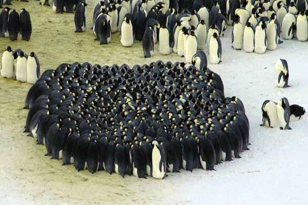 пингвины, круг, собираться