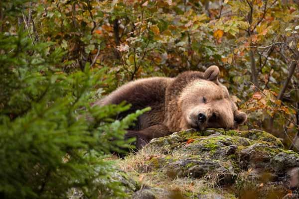 медведи, спячка