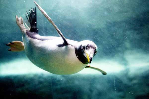 пингвины, крылья