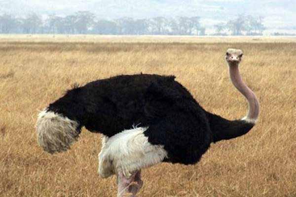 страус, песок, голова