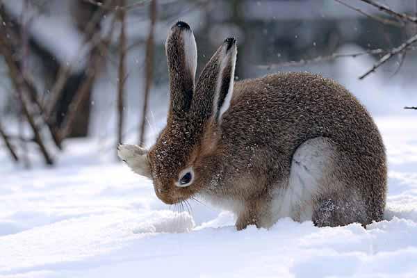заяц, уши, большие