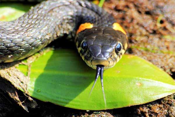 змея, язык, высовывать