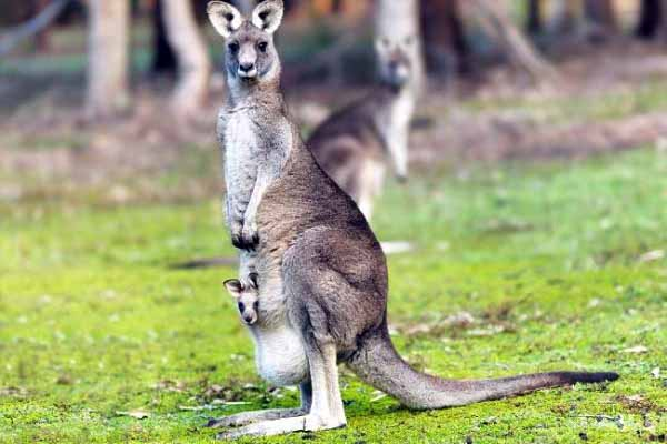 кенгуру, сумка