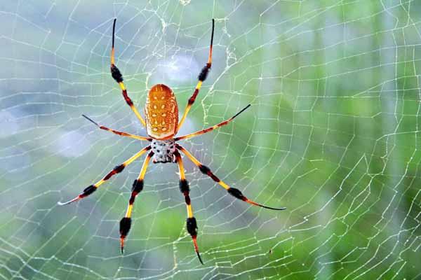 пауки, паутина, плетение