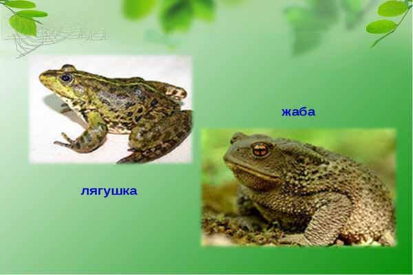 жаба, лягушка, отличие