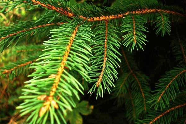 елки, зеленые, почему