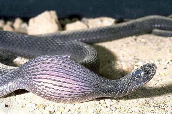 змея, проглотить, целый, кролик