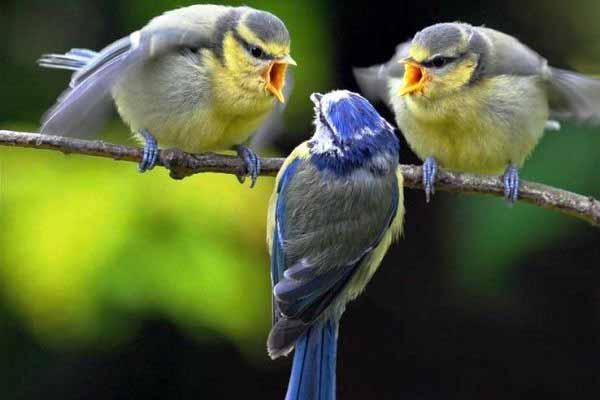 птицы, пение, что, значит