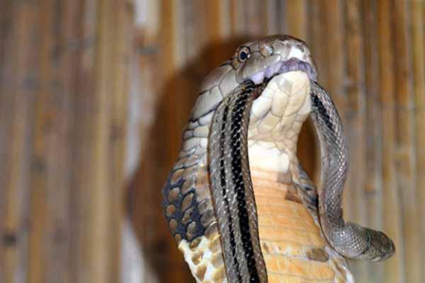 змея, кусать, другая, если