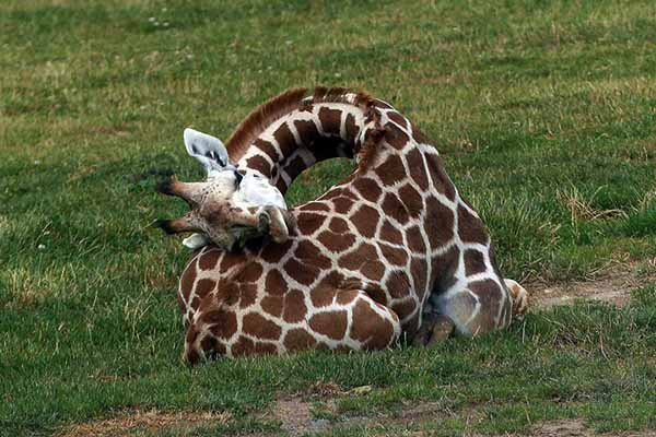жираф, упадет, если