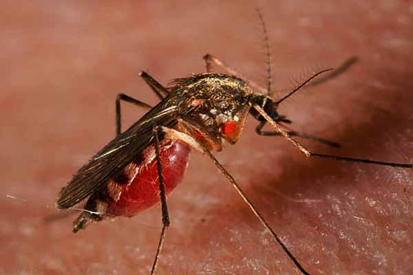 комар, зубы