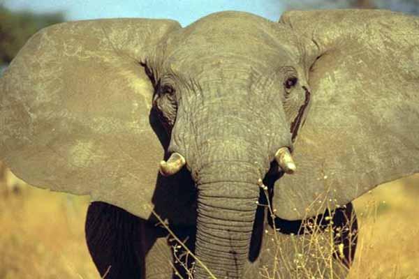 слон, уши, большие
