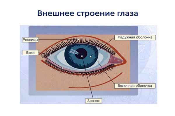 глаз, устройство