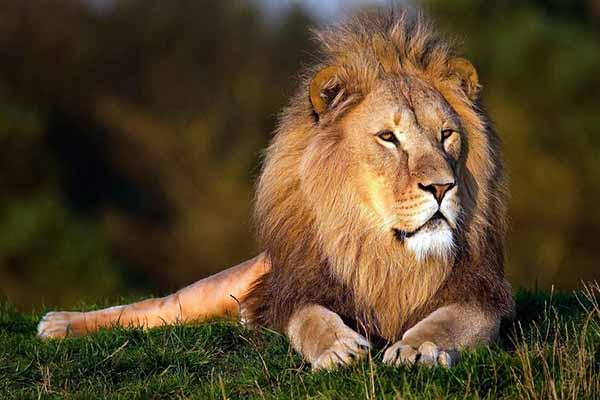 лев, царь, звери