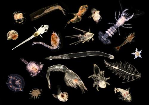планктон, что, такое