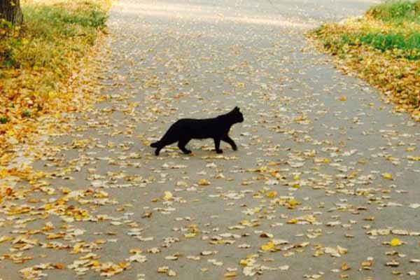 кошка, черная, сила, нечистая