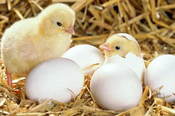 птенцы,  яйцо, выбираться