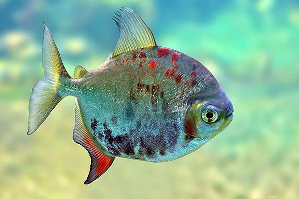 рыба, шея