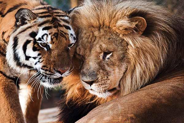 тигр, лев, полоски
