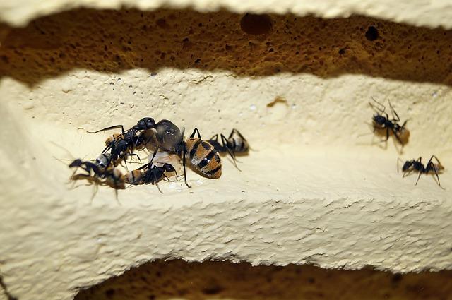 Королева в муравейнике значительно больше, чем другие муравьи.